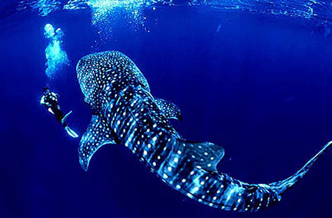 Promo Mexicano Nado con el Tiburón Ballena  desde Cancún