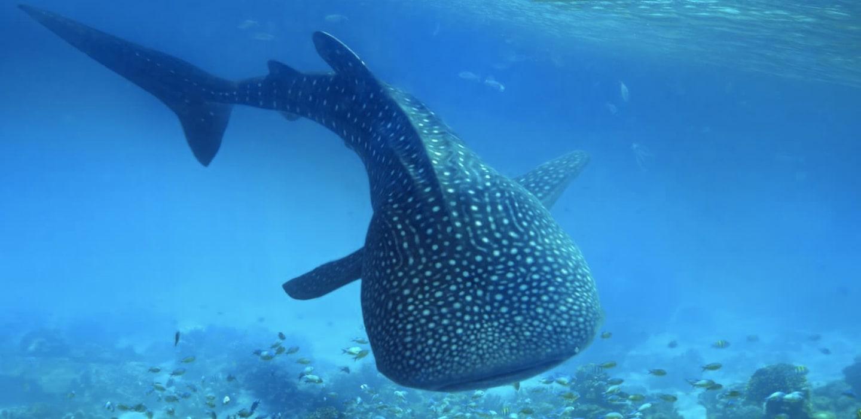 tiburon ballena riviera maya
